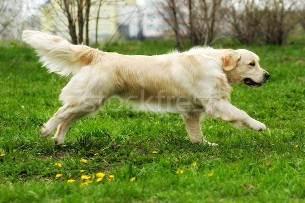 美しい 幸せ 犬 ゴールデンレトリバー を実行して 周りに ストックフォト © goroshnikova