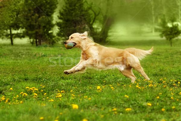 Foto stock: Perro · golden · retriever · jugando · parque · verano · ejecutando