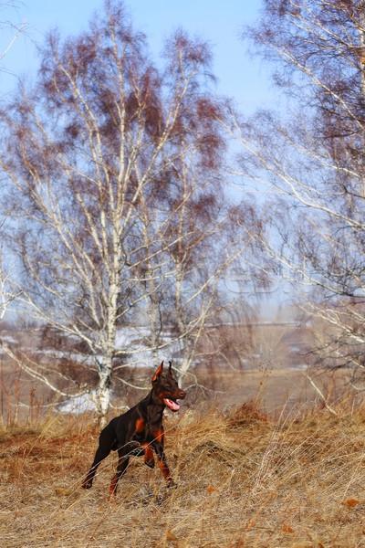 Barna kutya fajta doberman tavasz természet nyírfa Stock fotó © goroshnikova