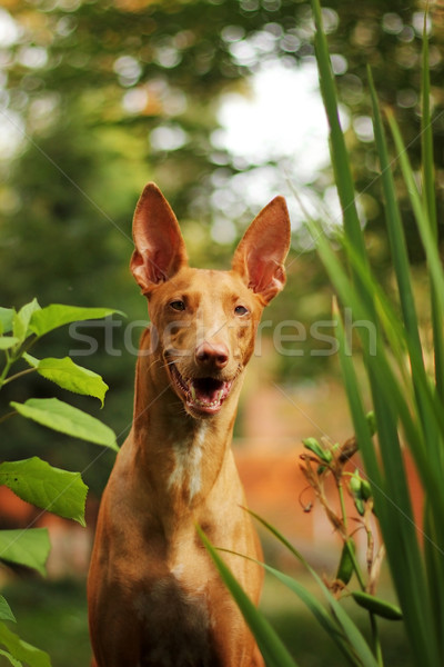 red dog of breed Pharaoh hound summer  Stock photo © goroshnikova