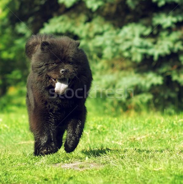Mooie pluizig hondenras zeldzaam zwarte kleur Stockfoto © goroshnikova