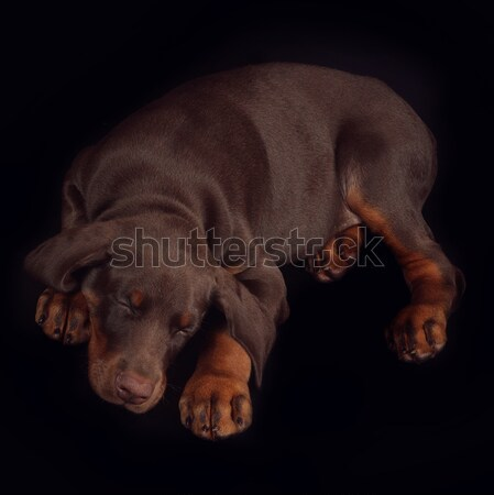 Little brown Doberman puppy sleeping sweetly on a black backgrou Stock photo © goroshnikova