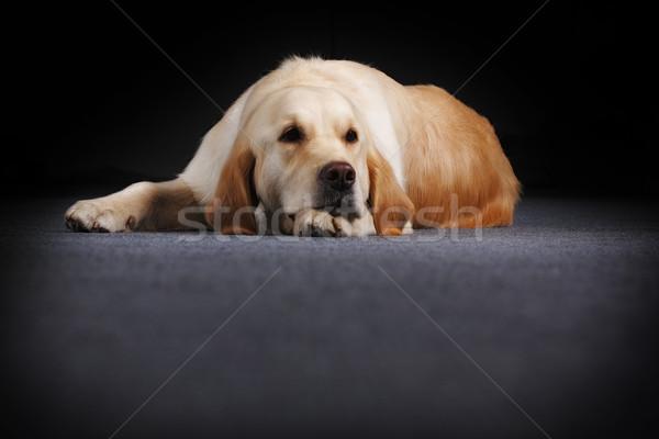 Golden retriever mijn hoofd oude hond Stockfoto © goroshnikova