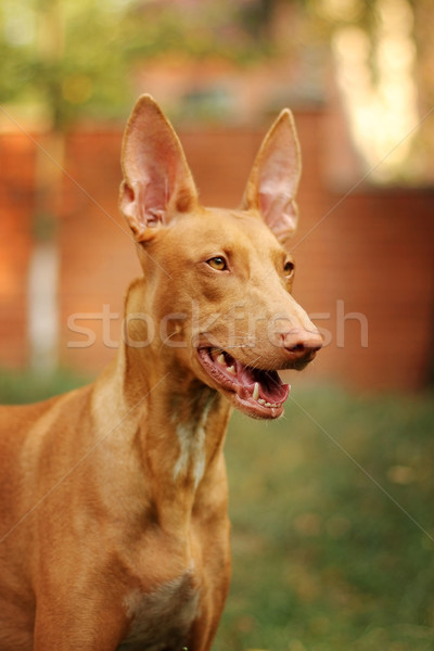 Portrait of a Pharaoh's dog Stock photo © goroshnikova