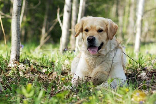 Felice cane golden retriever estate sorridere Foto d'archivio © goroshnikova