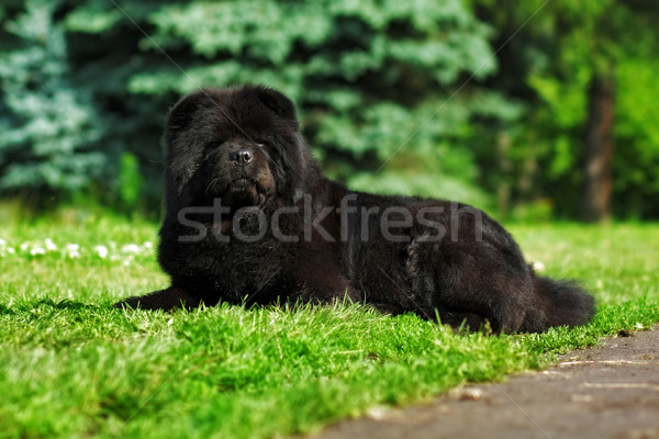 Bella soffice nero cane estate natura Foto d'archivio © goroshnikova