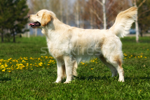 beautiful purebred dog Golden Retriever standing Stock photo © goroshnikova