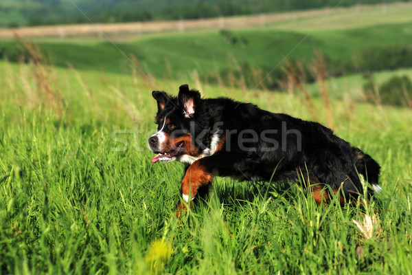 Piękna berneński pies pasterski zabawy lata odkryty dziedzinie Zdjęcia stock © goroshnikova