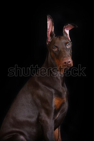 The profile of a Doberman on a black background Stock photo © goroshnikova