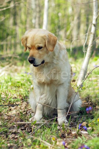 ゴールデンレトリバー 犬 座って 森林 下向き 肖像 ストックフォト © goroshnikova