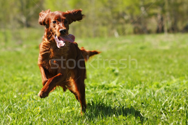 lucky dog Irish setter playing Stock photo © goroshnikova
