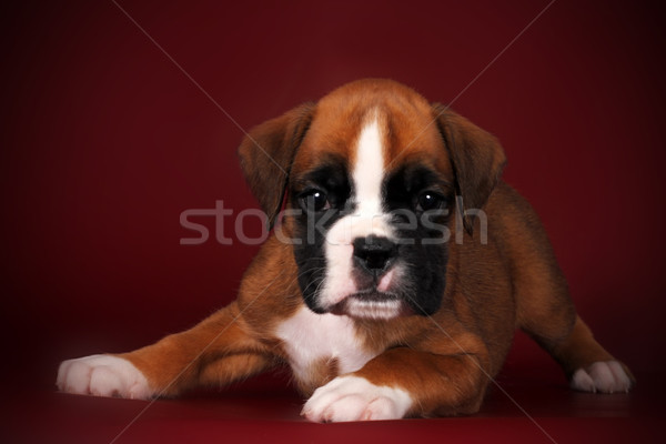 cute puppy of breed boxer with white paws and muzzle Stock photo © goroshnikova