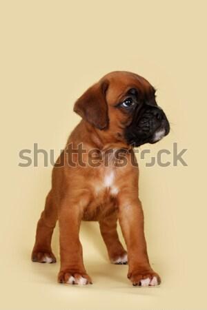 Szomorú kutyakölyök boxoló néz felfelé piros Stock fotó © goroshnikova