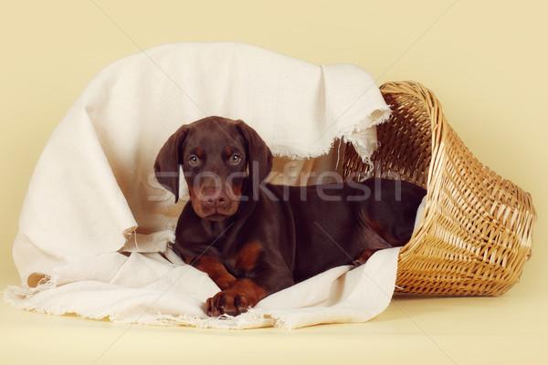 Beautiful purebred brown Doberman puppy is lying on a beige back Stock photo © goroshnikova