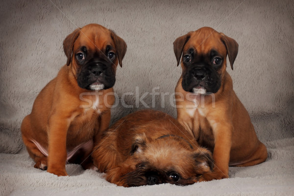 two puppies of the boxer and Brussels Griffon Stock photo © goroshnikova