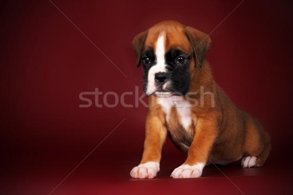 Sevimli kırmızı köpek yavrusu boksör oturma derin Stok fotoğraf © goroshnikova