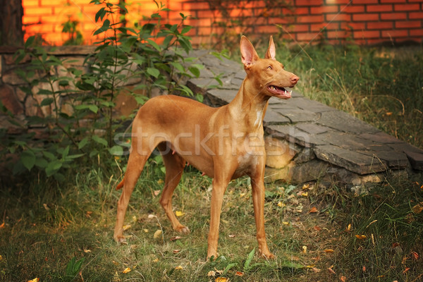 dog breed the Pharaoh hound is in full growth Stock photo © goroshnikova