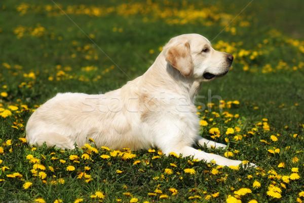 beautiful dog breed Golden Retriever lying  Stock photo © goroshnikova