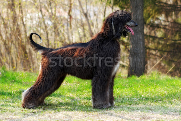beautiful dog breed Afghan is to show the position  Stock photo © goroshnikova