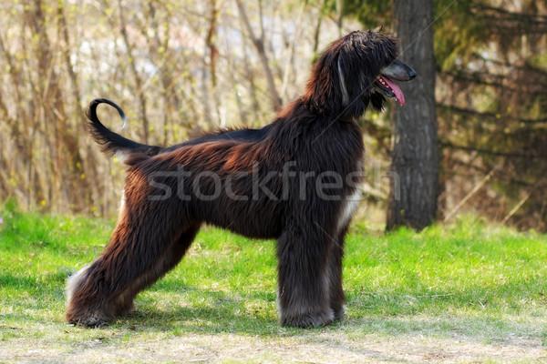 Mooie hondenras show positie zomer natuur Stockfoto © goroshnikova