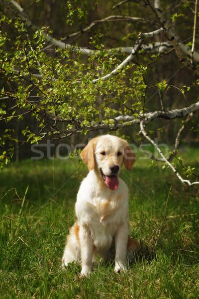dog Golden Retriever sitting Stock photo © goroshnikova