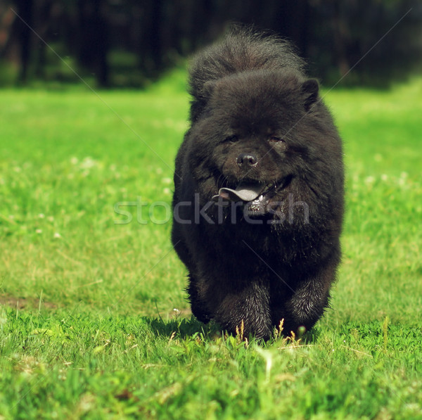 Beautiful fluffy dog breed Chow Chow rare black color runs in th Stock photo © goroshnikova