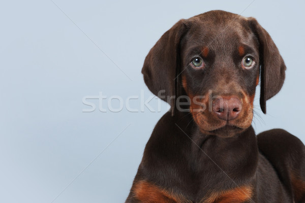 Stock photo: Beautiful brown Doberman puppy sitting on blue background in the