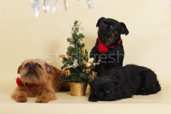 犬 クリスマスツリー グループ スタジオ 赤 おもちゃ ストックフォト © goroshnikova