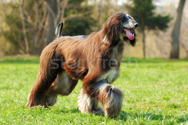 Dog Afghan Hound runs Stock photo © goroshnikova
