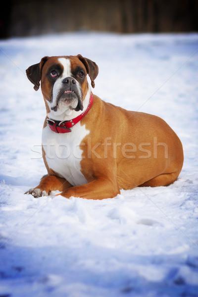 red dog breed boxer in protruding teeth lies the winter snow, sm Stock photo © goroshnikova