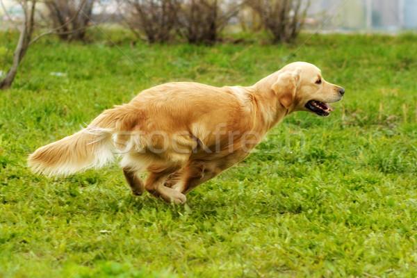 красивой счастливым собака Золотистый ретривер работает вокруг Сток-фото © goroshnikova