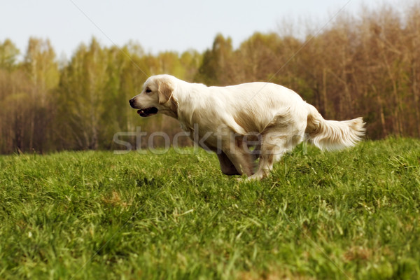 dog Golden Retriever runs Stock photo © goroshnikova