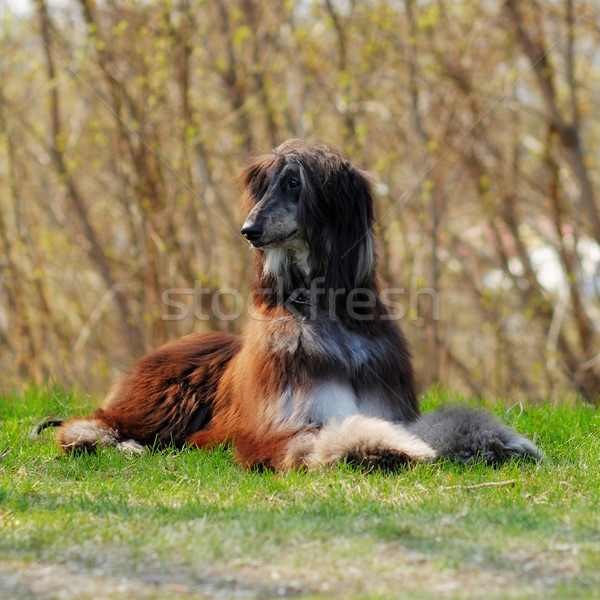 beautiful dog breed Afghan lies in the summer outdoors Stock photo © goroshnikova