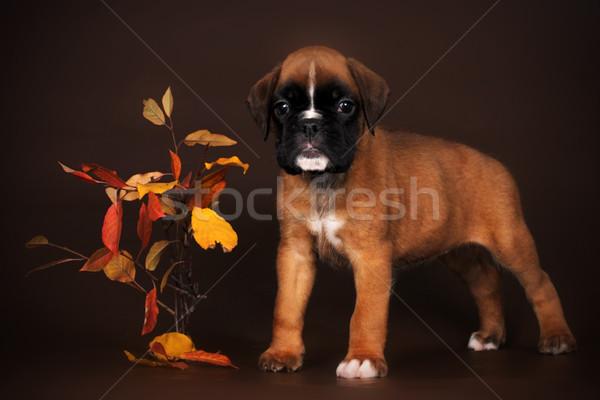 Bonitinho vermelho cachorro boxeador marrom retrato Foto stock © goroshnikova