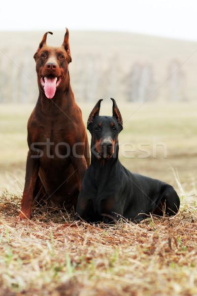 два доберман черный коричневый пару собаки Сток-фото © goroshnikova