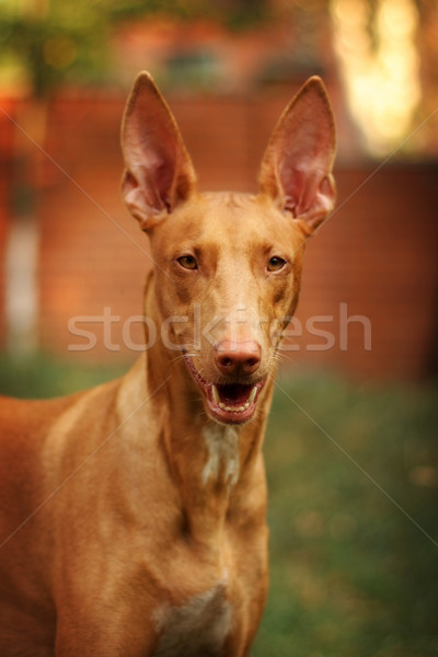 Portrait of dog breed Pharaoh hound Stock photo © goroshnikova