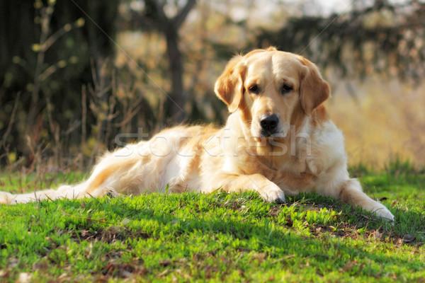 Bella cane golden retriever estate riposo erba Foto d'archivio © goroshnikova