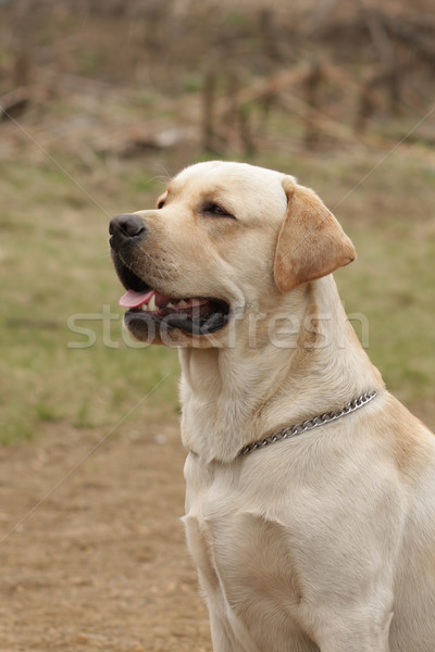 beautiful purebred fawn dog Labrador Retriever Stock photo © goroshnikova
