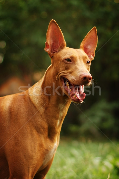 red dog of breed Pharaoh hound Stock photo © goroshnikova