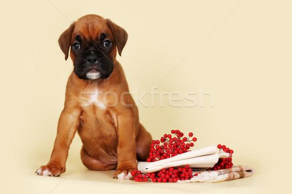 Beautiful red puppy boxer sitting next to autumn berries and sta Stock photo © goroshnikova