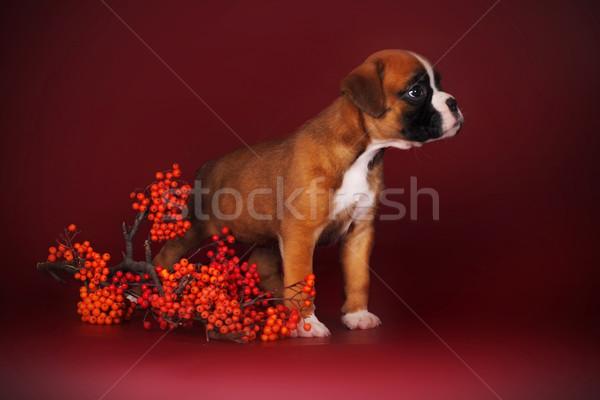Cute puppy boxer stands next to a sprig  Stock photo © goroshnikova