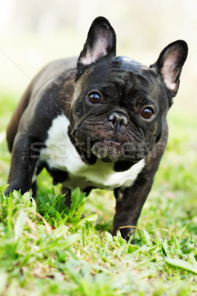 dog French bulldog in the summer on the nature Stock photo © goroshnikova