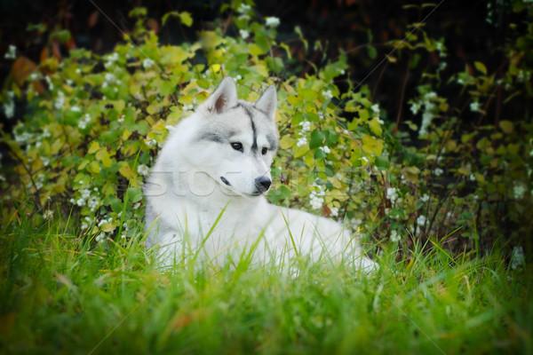 Belo rouco cão ao ar livre outono mentiras Foto stock © goroshnikova