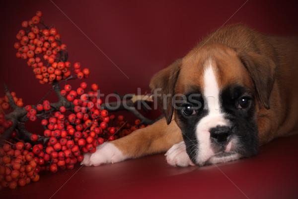 Bonitinho cachorro boxeador cabeça triste Foto stock © goroshnikova