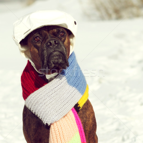 Intelligent hondenras bokser vergadering hoed sjaal Stockfoto © goroshnikova