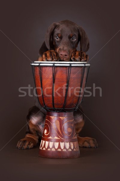 Brown Doberman puppy put his paws up on the drum Stock photo © goroshnikova