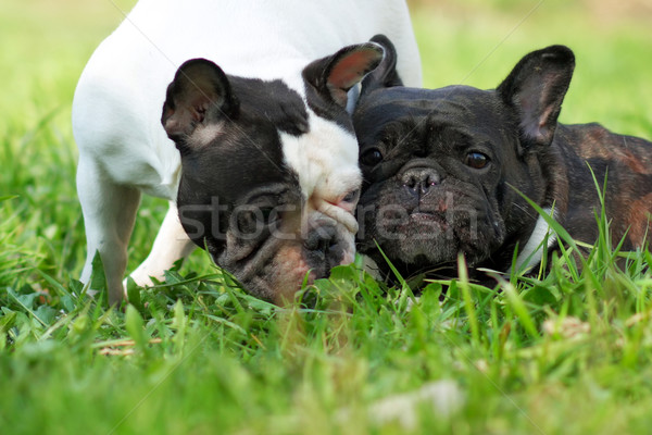 two dogs French bulldogs in the summer Stock photo © goroshnikova