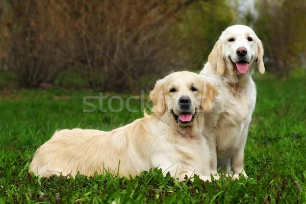 Iki aile köpekler çift golden retriever Stok fotoğraf © goroshnikova