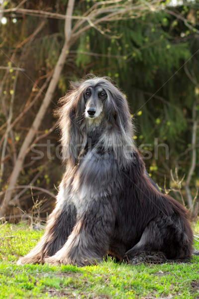 Dog Afghan Hound sitting Stock photo © goroshnikova