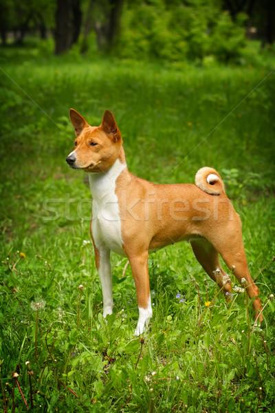 Előadás pozició gyönyörű kutya nyár fű Stock fotó © goroshnikova